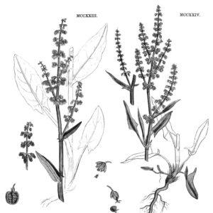 PLANCHE NATURALISTE PLANTES